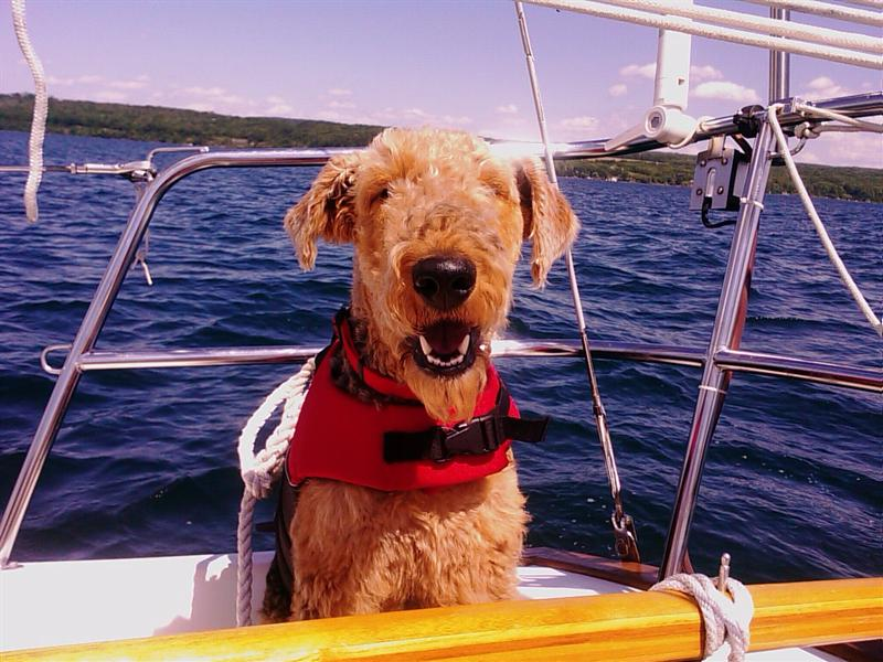 Windfiddlers first mate, Chiefy, an airedale who absolutely loves sailing. &copy Tom Foster